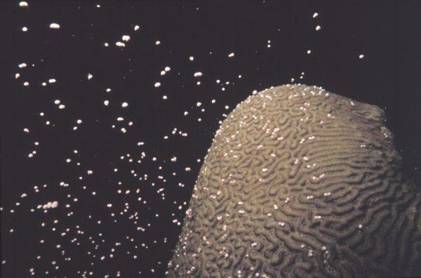 Spawning Brain Coral